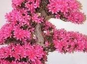 Cómo cultivar Azaleia
