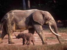 África tiene una, sino especies elefantes