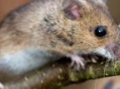Nutrición ortomolecular, historia ratones.