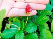 Cómo plantar fresas casa
