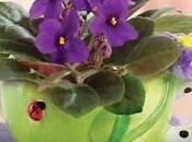 Cómo cultivar violetas