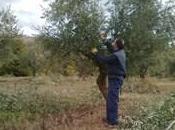 Realizar poda olivar correcta.