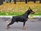 Perros Pinscher miniatura  Conoce sobre esta Increíble raza
