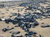 Miles medusas colman playa Florida, pintando orilla azul