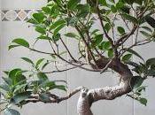 Modelando Ficus Microcarpa Tiger Bark empezando cero ápice