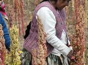 Quinoa, timo real