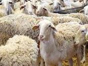 Entre ovejas... manchegas