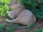 safaris, opción cada popular