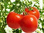 beneficios Poda Tomate