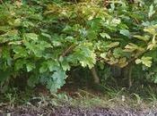 Diorama Acers Campestres mantenimiento bosque