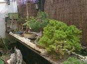 Wisteria entre planta acento bonsai mame