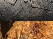 Nueva especie amblipígido Brasil