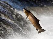 Como salmón