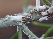 Cochinilla: Orthezia insignis afecta Plantas Canarias