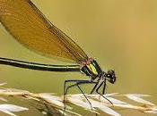 Calopteryx virgo (Linnaeus, 1758) Caballito diablo