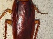 Conoce cómo reproducen cucarachas evita cría