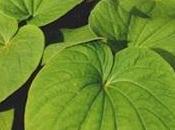 Kava: Planta medicinal para tratar depresión