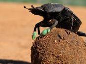 Curiosidades sobre Escarabajos Peloteros