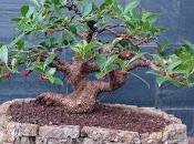 Ficus Retusa 2016