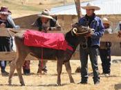 Añahuichi, potencia ganadera provincia Chumbivilcas