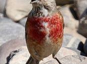 Pardillo común-carduelis cannabina-linnet