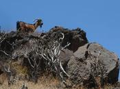 Cabras Guaniles [Asilvestradas] Anaga