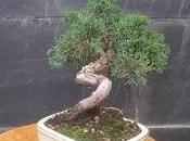 Juniperus chinensis 2016