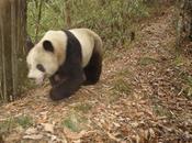 enigma taxonómico panda gigante