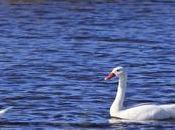 Cisnes laguna