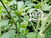 [Vídeo] Truco para cosechar tomates
