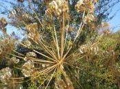flor seca hinojo