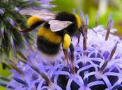 Otro polinizador other pollinator (bombus terrestris).