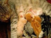 Gata Está Embarazada? Todo Debes Saber Sobre Tiempo Gestación Gatos