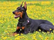 Mejor Lista Nombres Para Perros Doberman (Hembra Macho)