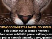 Otra mismo, quitamos habitat, alimento luego perseguimos como plaga??? matanza inescrupulosa pumas Negro (Argentina)