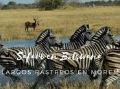 Safari Botswana, Largos Rastreos Moremi
