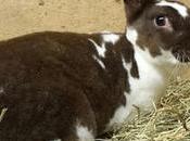 Conejo Rex. Conoce Esta Raza Conejos Perfectos Para Hogar