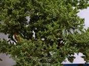 Modelando Juniperus Procumbens Nana Poda estructural alambrado.
