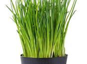 Producto Herbolario: Cebollino