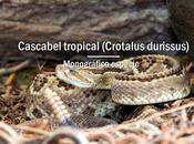 Cascabel tropical