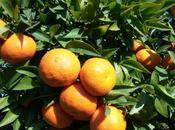 Cada agricultores valencianos venden naranjas, mandarinas otros productos online