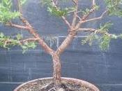 Junipero indomable alambrado