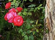 Rosas tras corteza