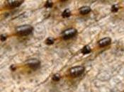 Descubierto método mantiene jóvenes termitas reinas genes