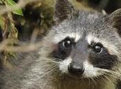 Mamá, mayor quiero mapache.