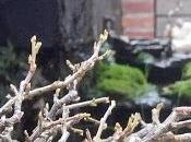 Cotoneasters yemas alguna hoja