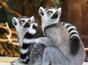 fortuna lemur