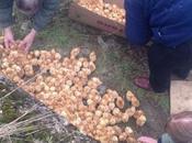 1000 polluelos abandonados para murieran campo