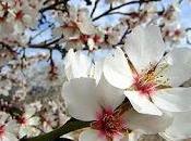 Almendros flor