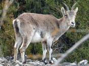 Cabras montesas pista Beceite Parrizal